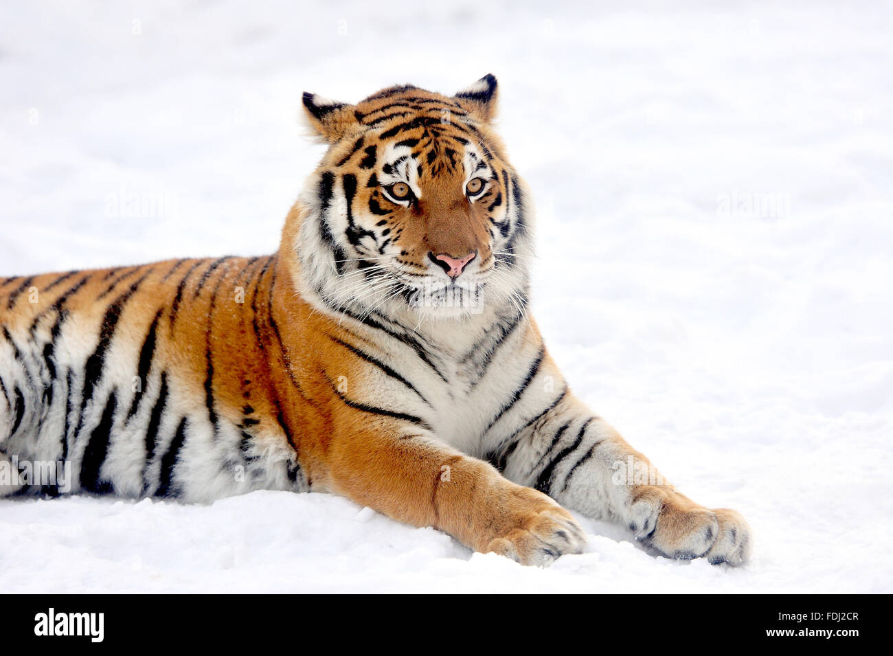 Beautiful wild siberian tiger on snow Stock Photo