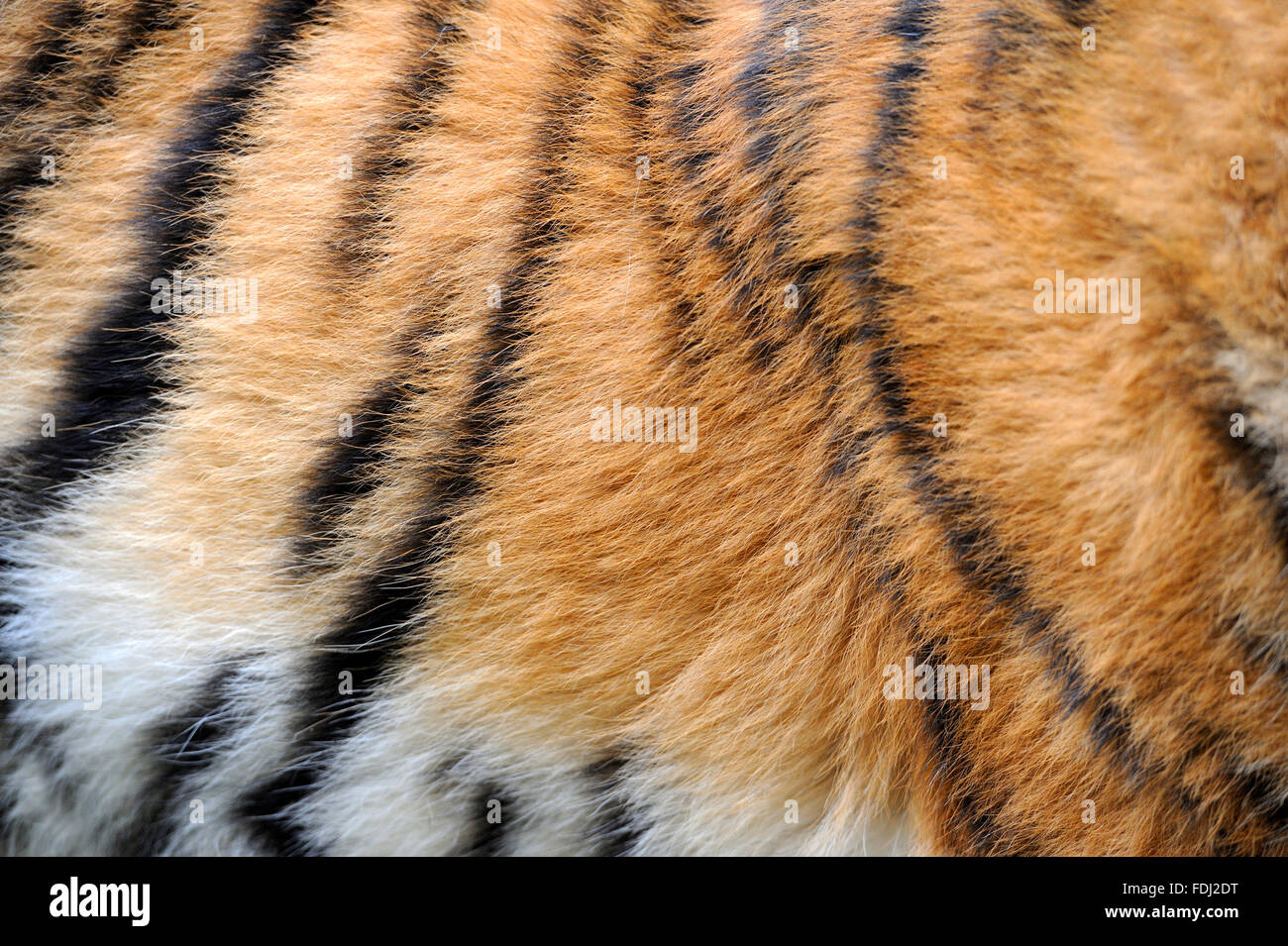 Close-up texture of real tiger skin - Stock Image