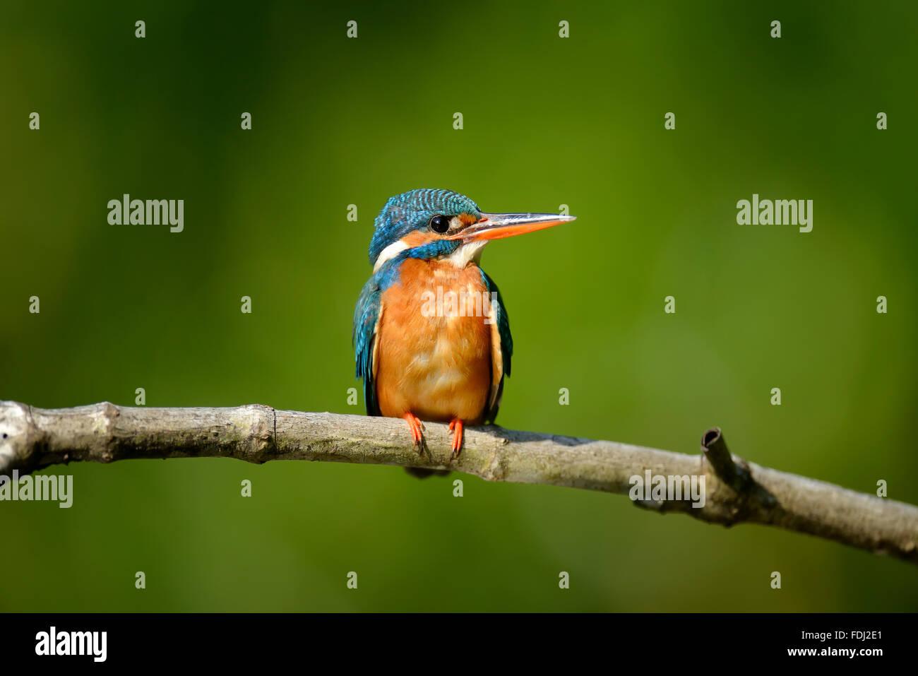 Beautiful blue Kingfisher bird on a branch - Stock Image