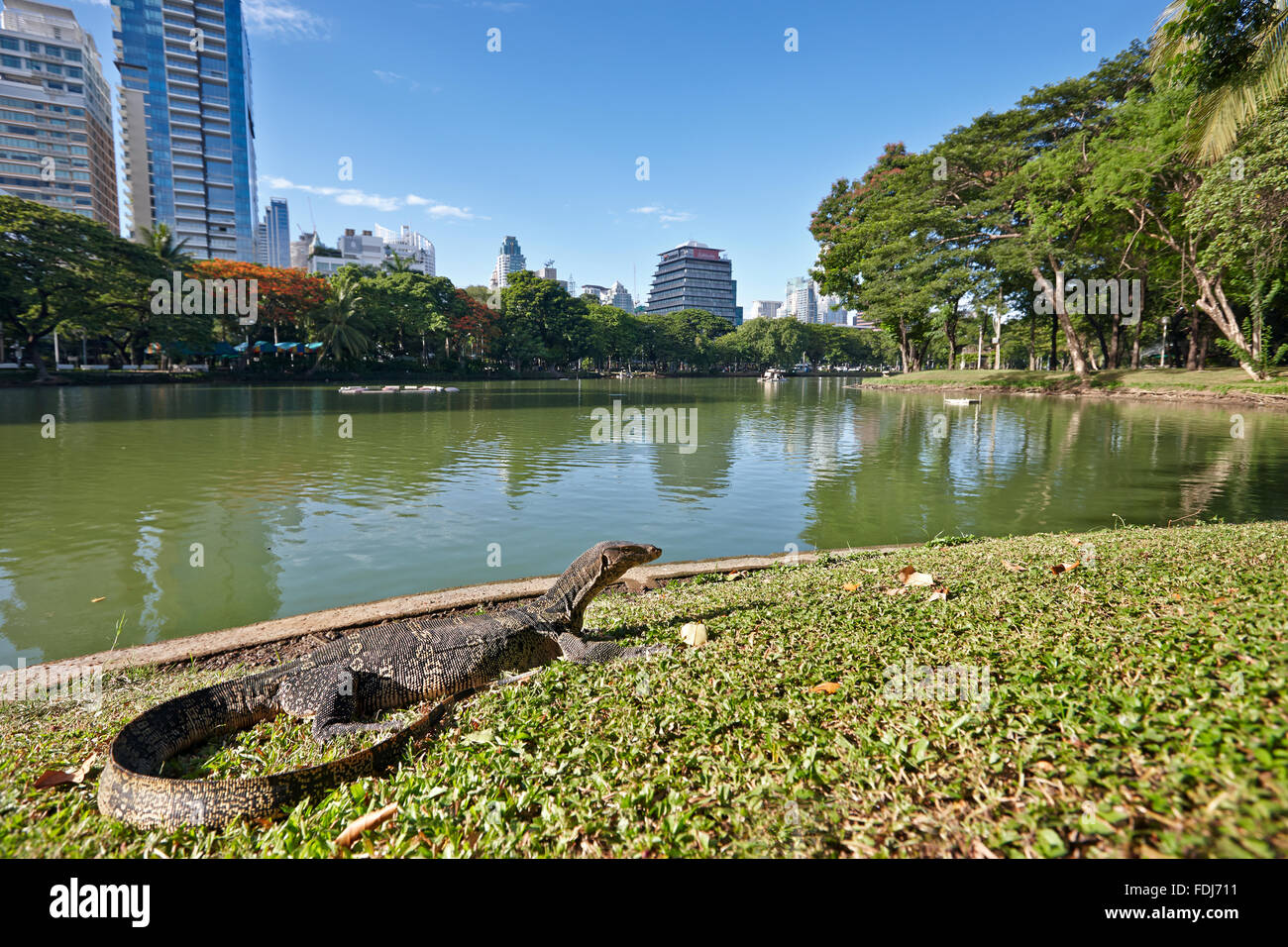 Big monitor lizard sunbathing on green grass near the lake in Lumphini Park. Bangkok, Thailand. - Stock Image