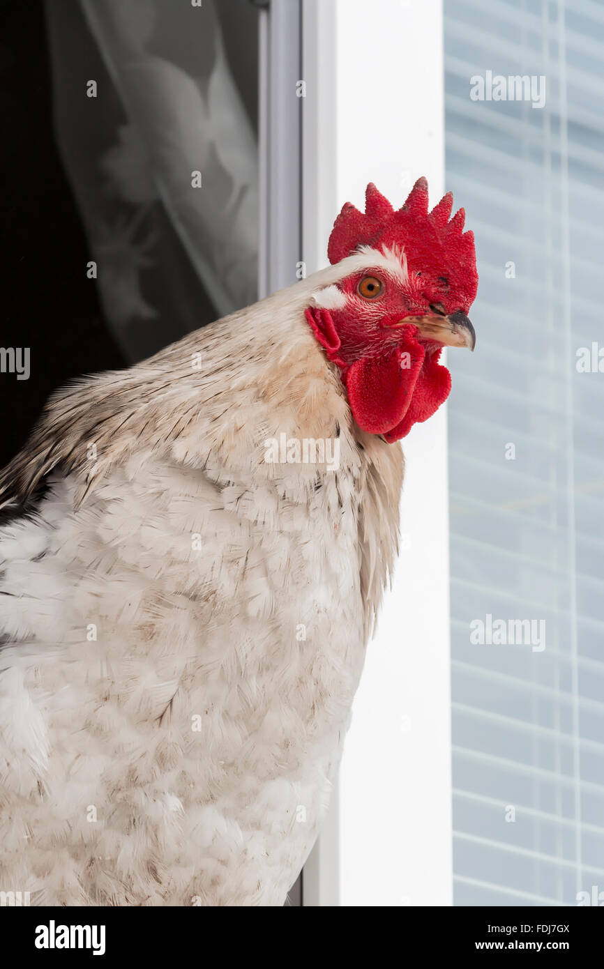 Rooster on the windowsill - Stock Image