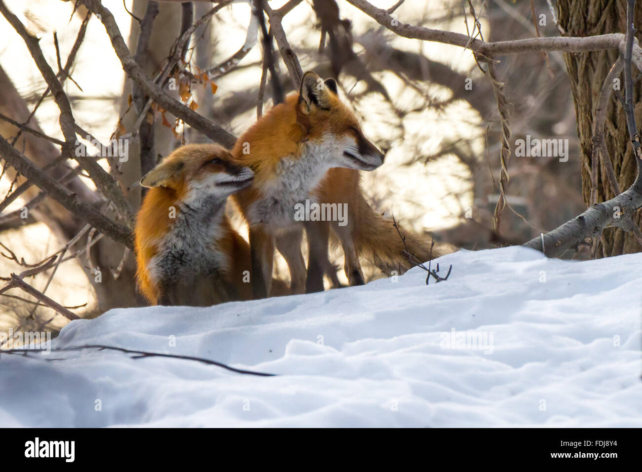 pair of red foxes courting in the winter snow - Stock Image