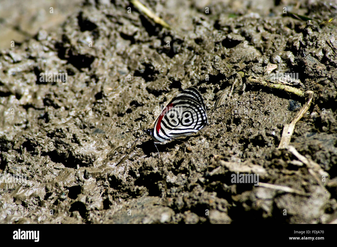 Diaethria anna butterfly in the Bolivian jungle with a clear number 88 as a design on its wing, perched on the ground. - Stock Image