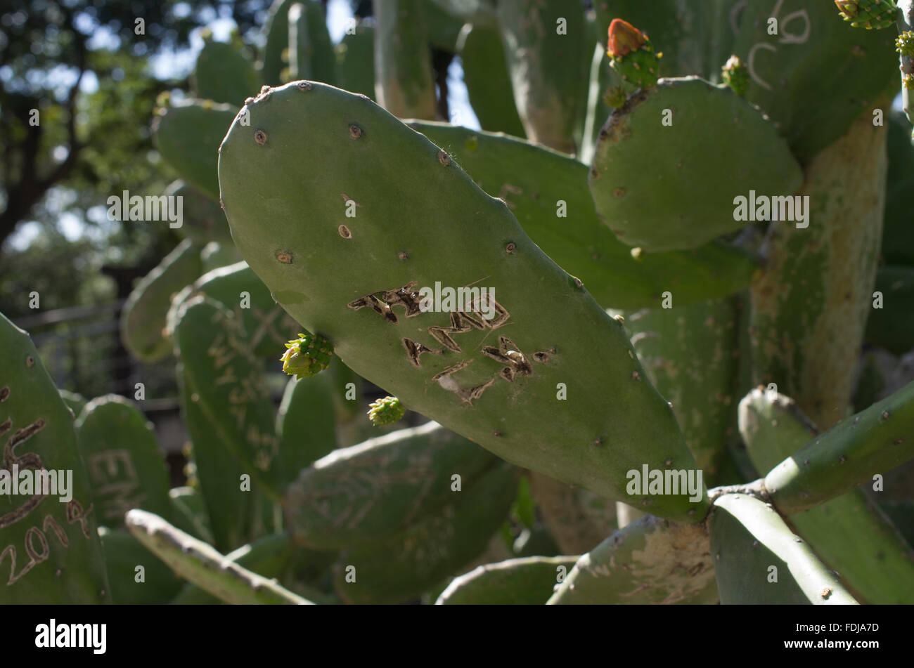 Sunlit cacti in Bolivia with graffiti in Spanish te amo e.g. I love you, engraved in one of the cactus leaves or - Stock Image