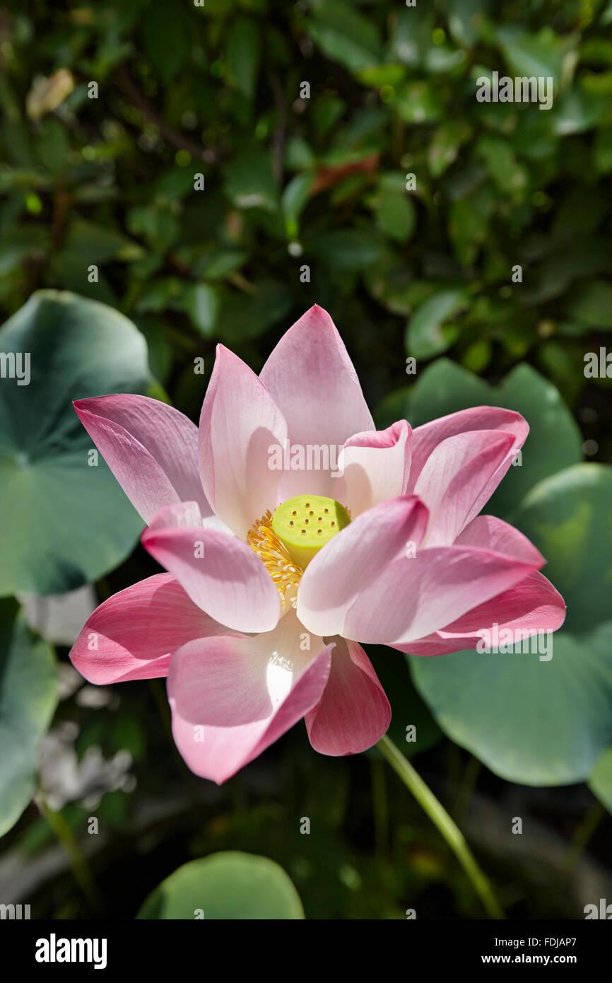Nelumbo nucifera stock photos nelumbo nucifera stock images alamy lotus flower scientific name nelumbo nucifera bangkok thailand stock image izmirmasajfo Choice Image