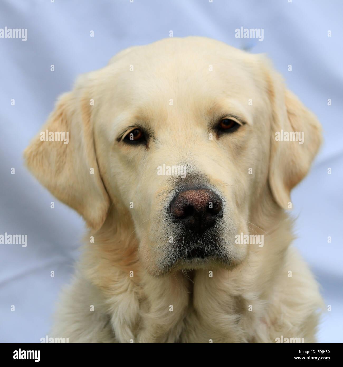 Headshot of a yellow labrador dog - Stock Image