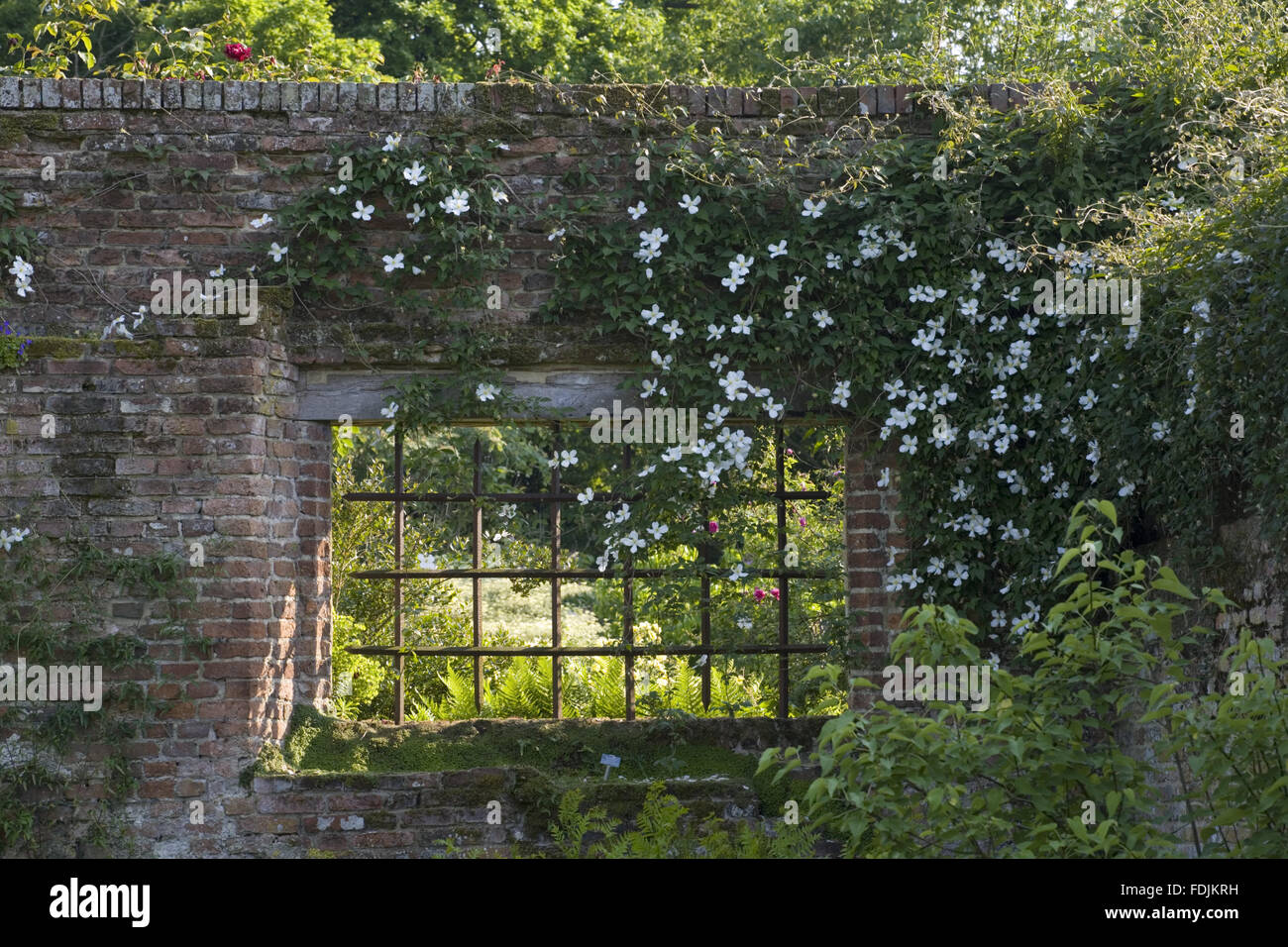 Clematis Overhanging Window On The Wall Between The Tower Lawn And The Rose  Garden, At