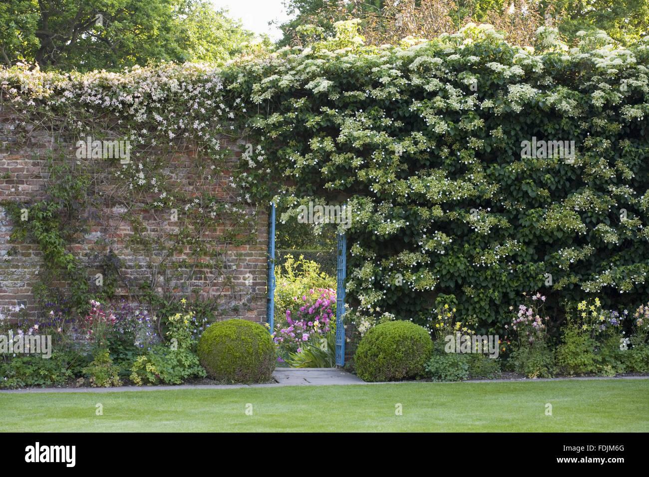 Hydrangea Petiolaris On The Wall Next To The Door To The Rose Garden At  Sissinghurst Castle Garden, Near Cranbrook, Kent.