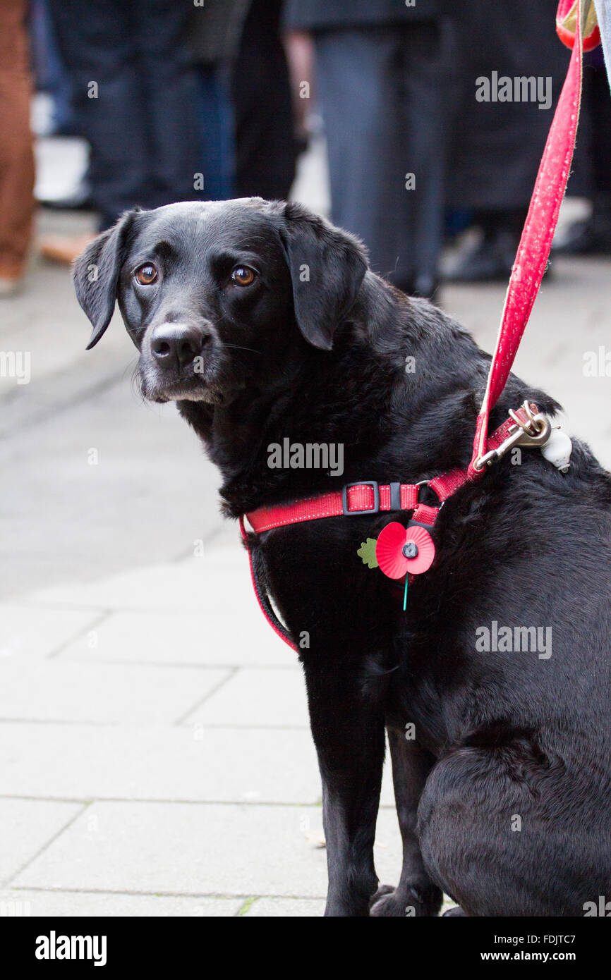 A dog watches the Remembrance Day Parade, Abergavenny, 2014 - Stock Image