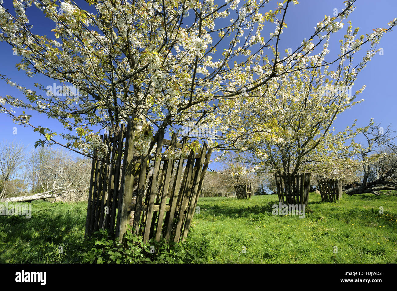 Cherry trees in  blossom in April in Bohetherick orchard, near Cotehele Quay, Cornwall. Bohetherick is one of the Stock Photo
