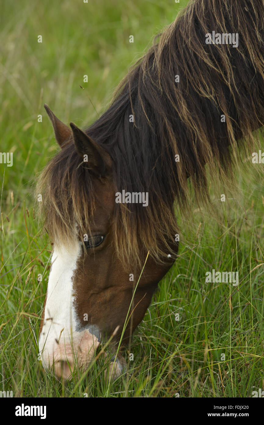 Wild pony on Lundy Island. Lundy, 18 kilometres off the north Devon coast, is owned by The National Trust, but is Stock Photo