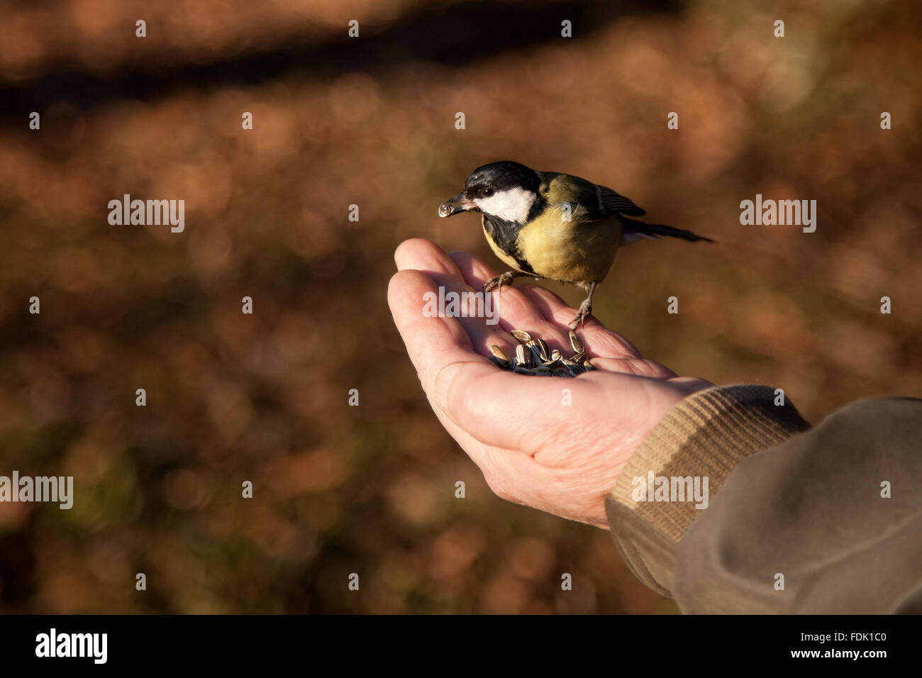 Titmouse bird feeding from a man's hand, sofia, bulgaria Stock Photo