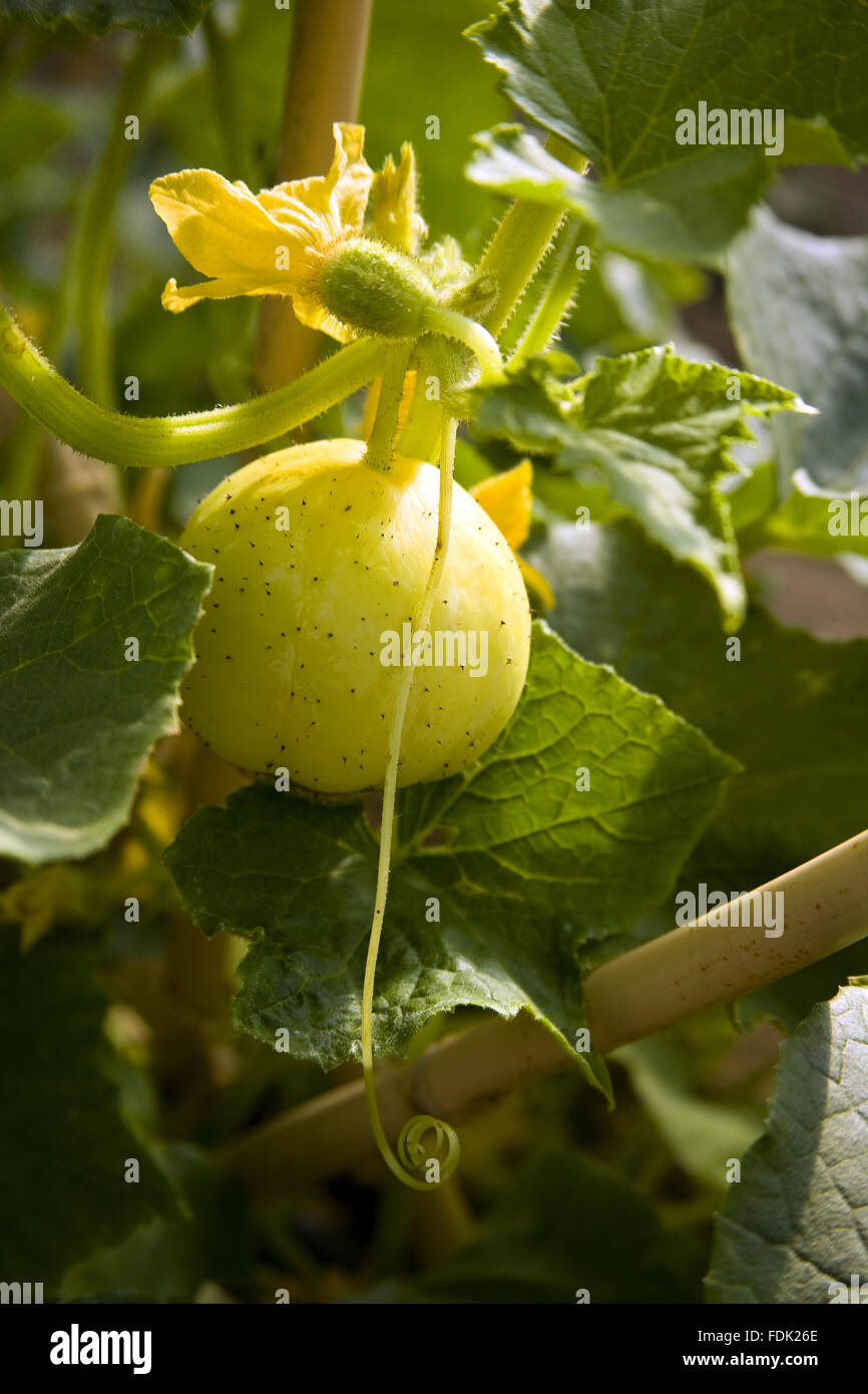 Squashes in August being grown in the new vegetable garden at Sissinghurst Castle, near Cranbrook, Kent. - Stock Image