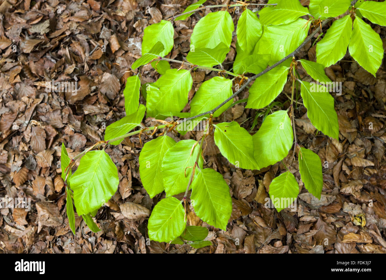 Beech leaves in May at Sharpenhoe Clappers, Bedfordshire. - Stock Image