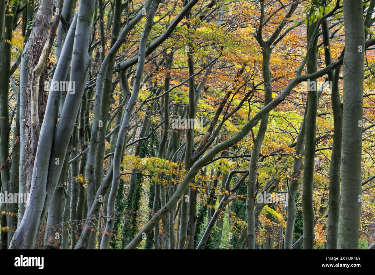 a63ea02bc6fb3e Woodland in November at Moleskin and Markham Hills, Bedfordshire. - Stock  Image