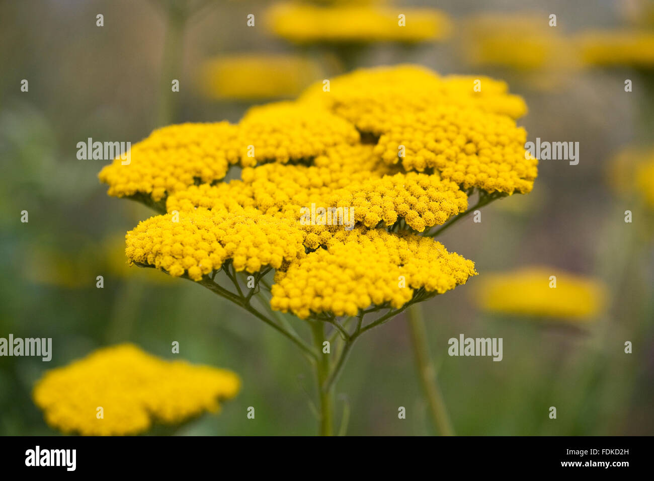 Achillea filipendulina 'Coronation Gold' flowers. - Stock Image