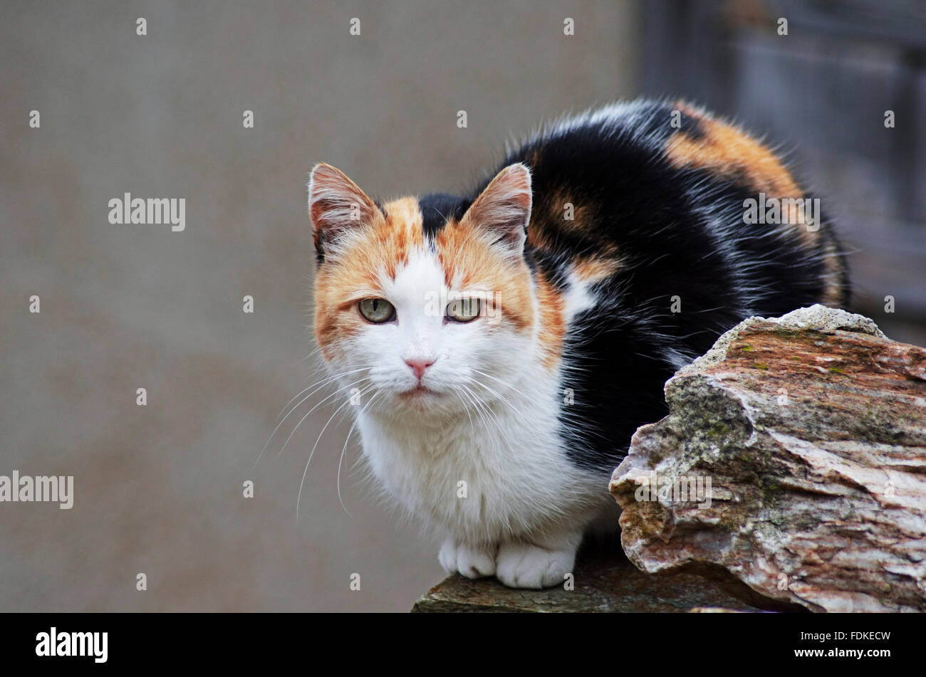 Calico cat sitting on a wall and looking at camera - Stock Image