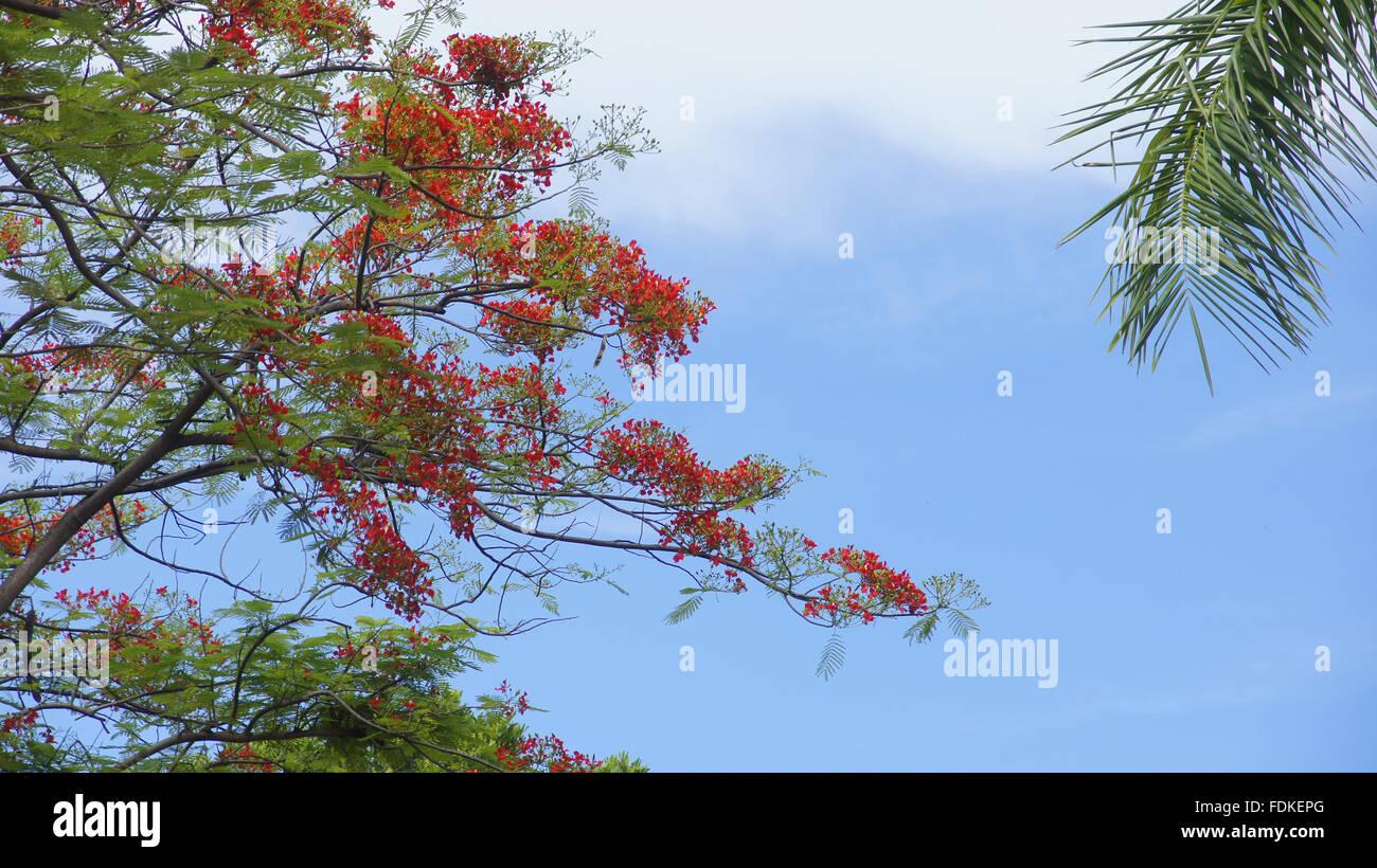 Bunga Flamboyan Delonix Regia Stock Photo 94471064 Alamy