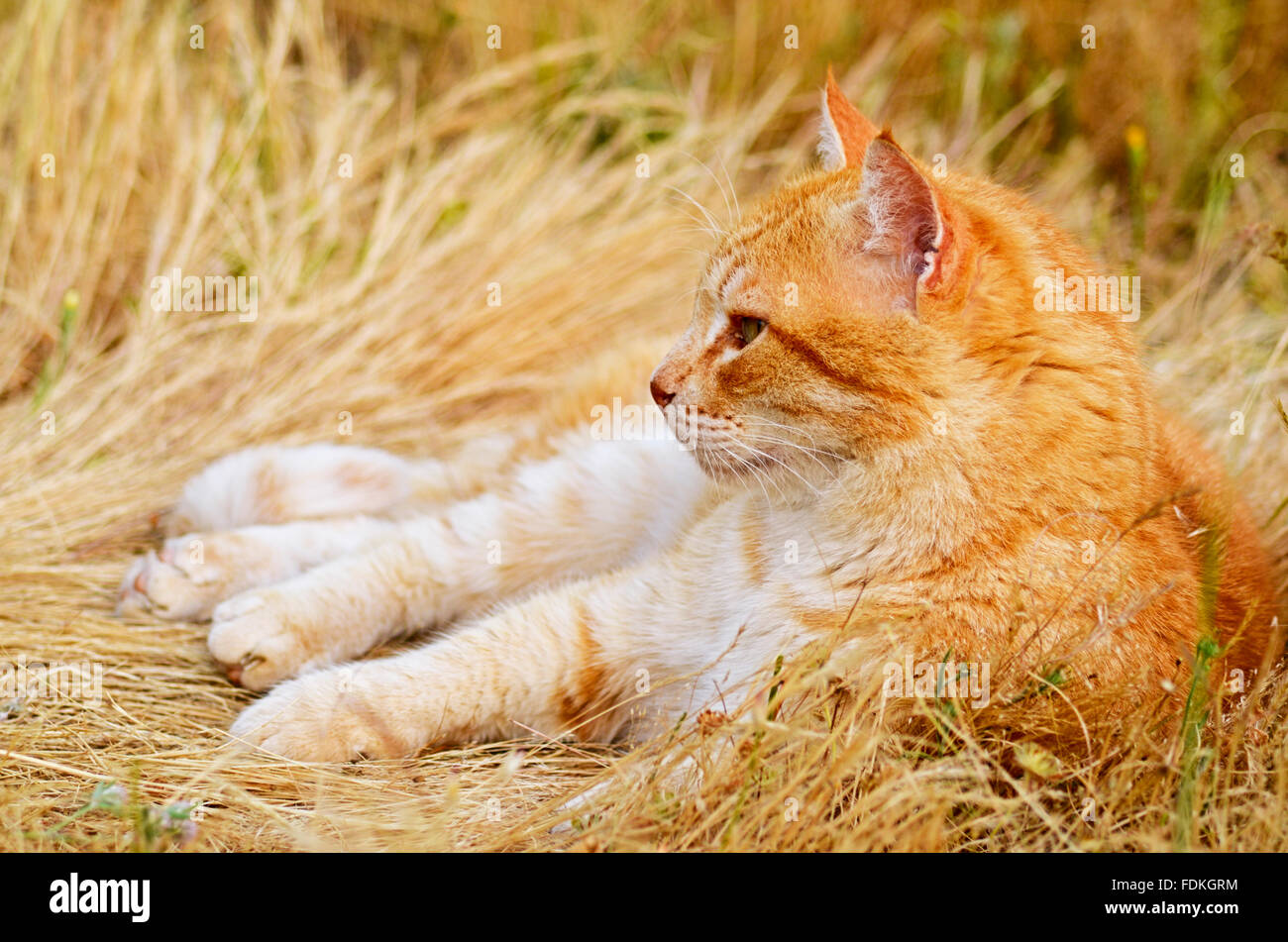 Ginger cat lying in meadow - Stock Image