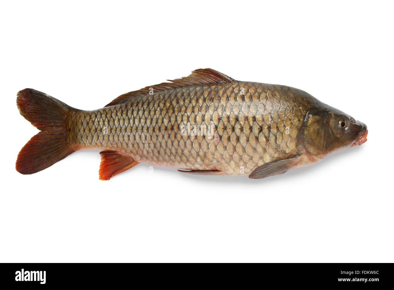 Single fresh whole carp fish at white background Stock Photo