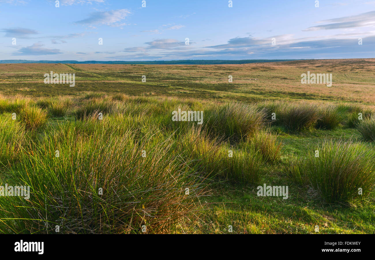 North Yorkshire Moors National Park at dawn in summer with cotton grass and heather near Levisham, Yorkshire, UK. - Stock Image