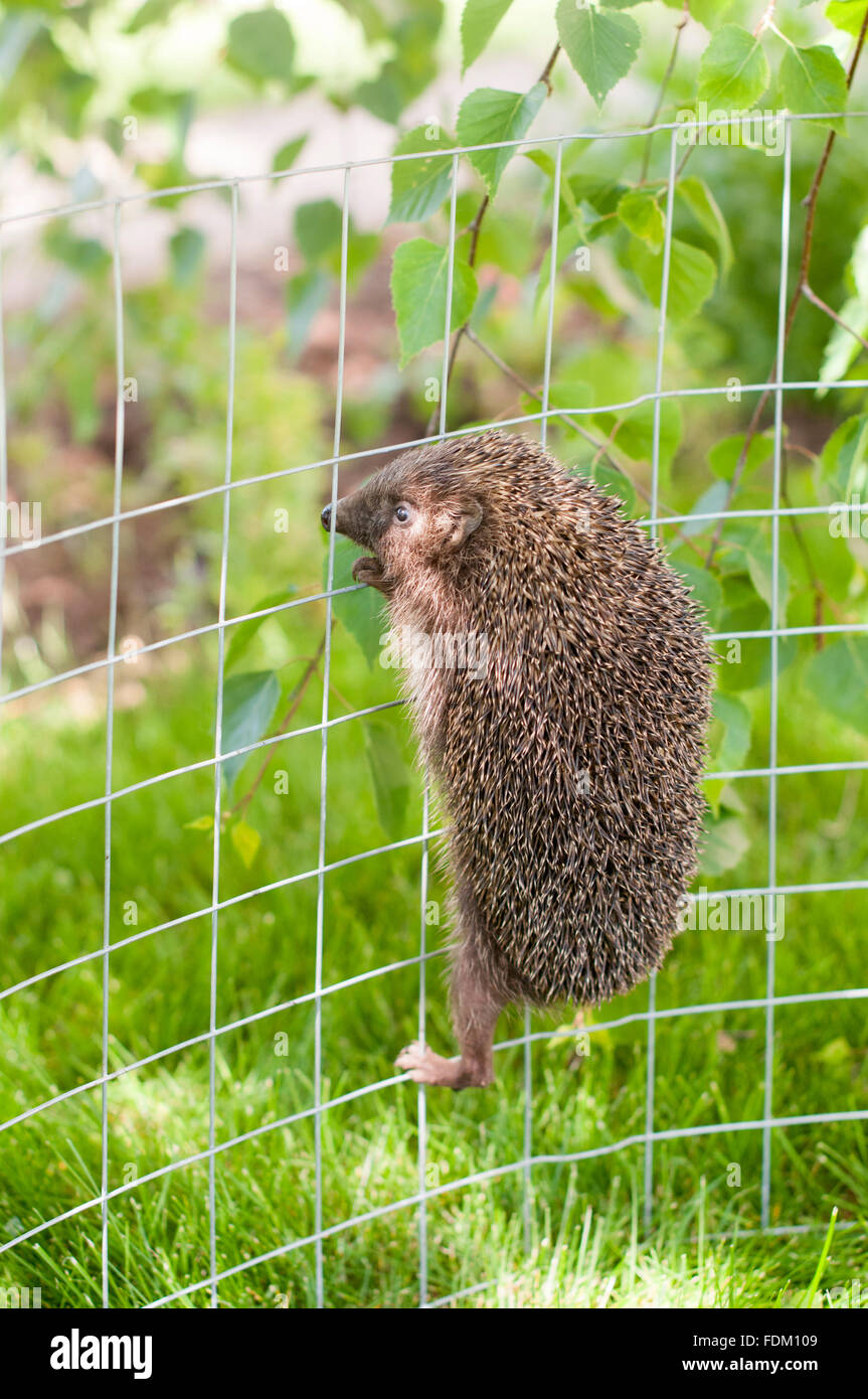 Hedgehog is climbing on a metal fence - Stock Image