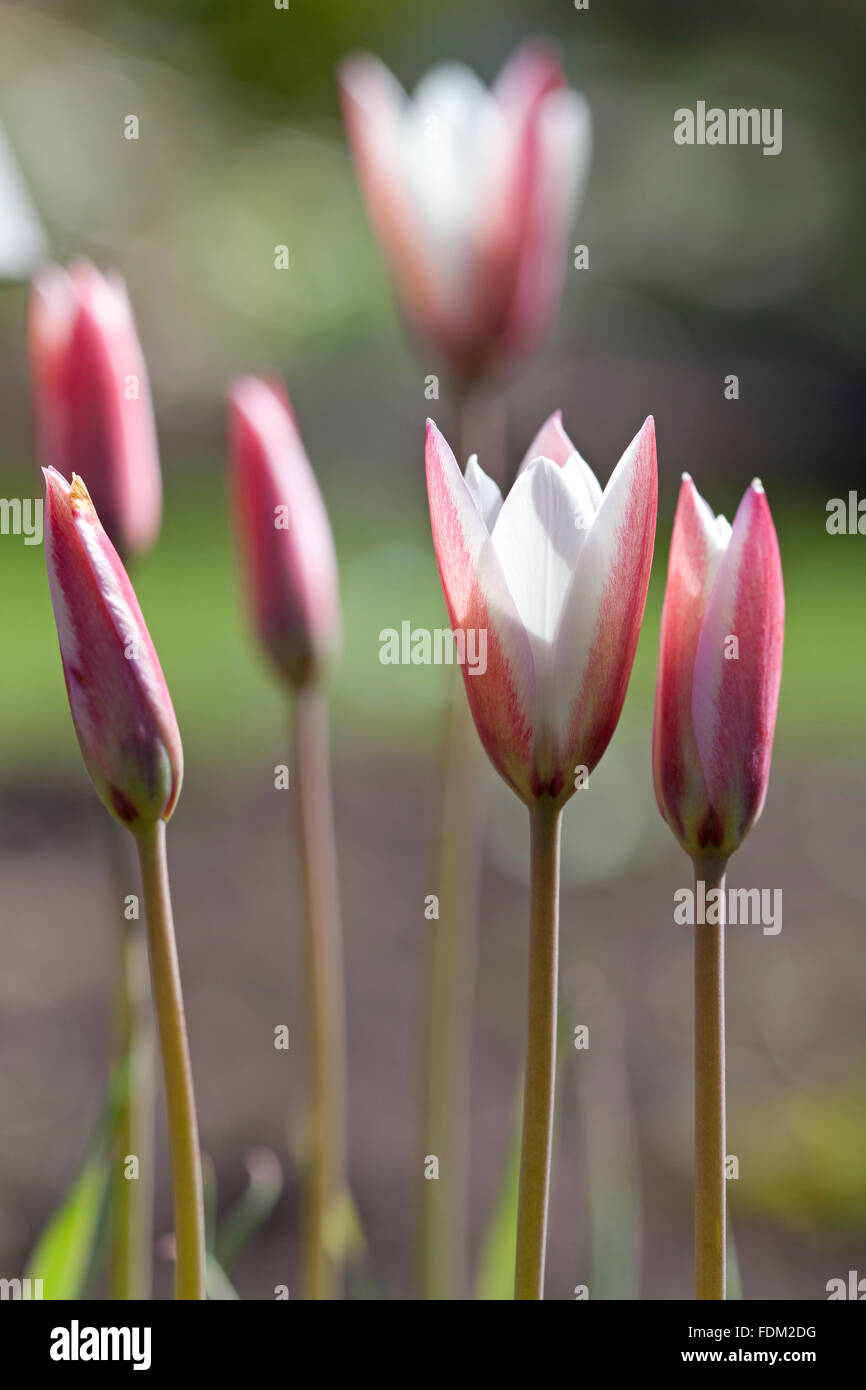 Pink Tulipa sylvestris outdoors - Stock Image