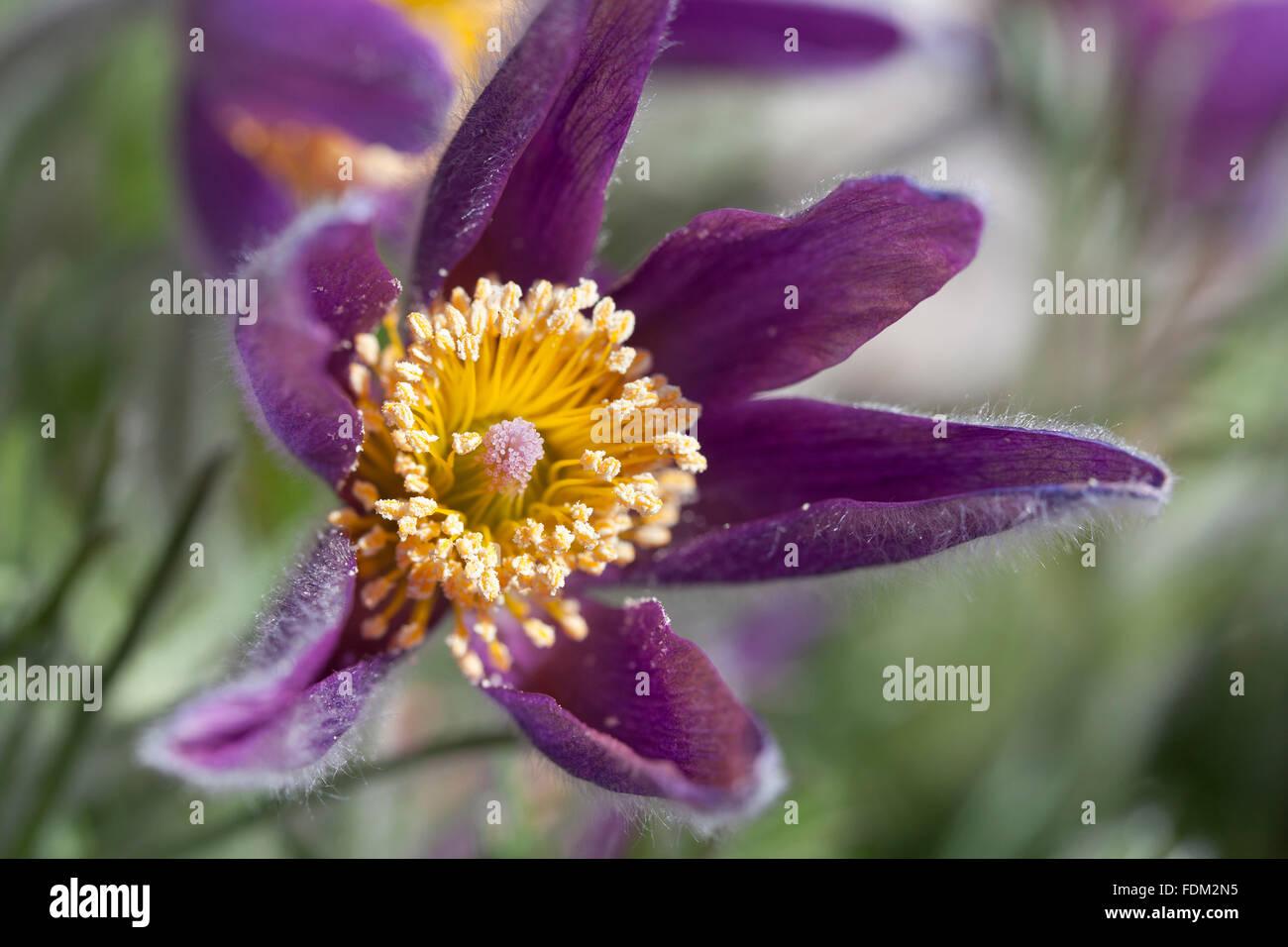 Purple Pulsatilla vulgaris close up - Stock Image