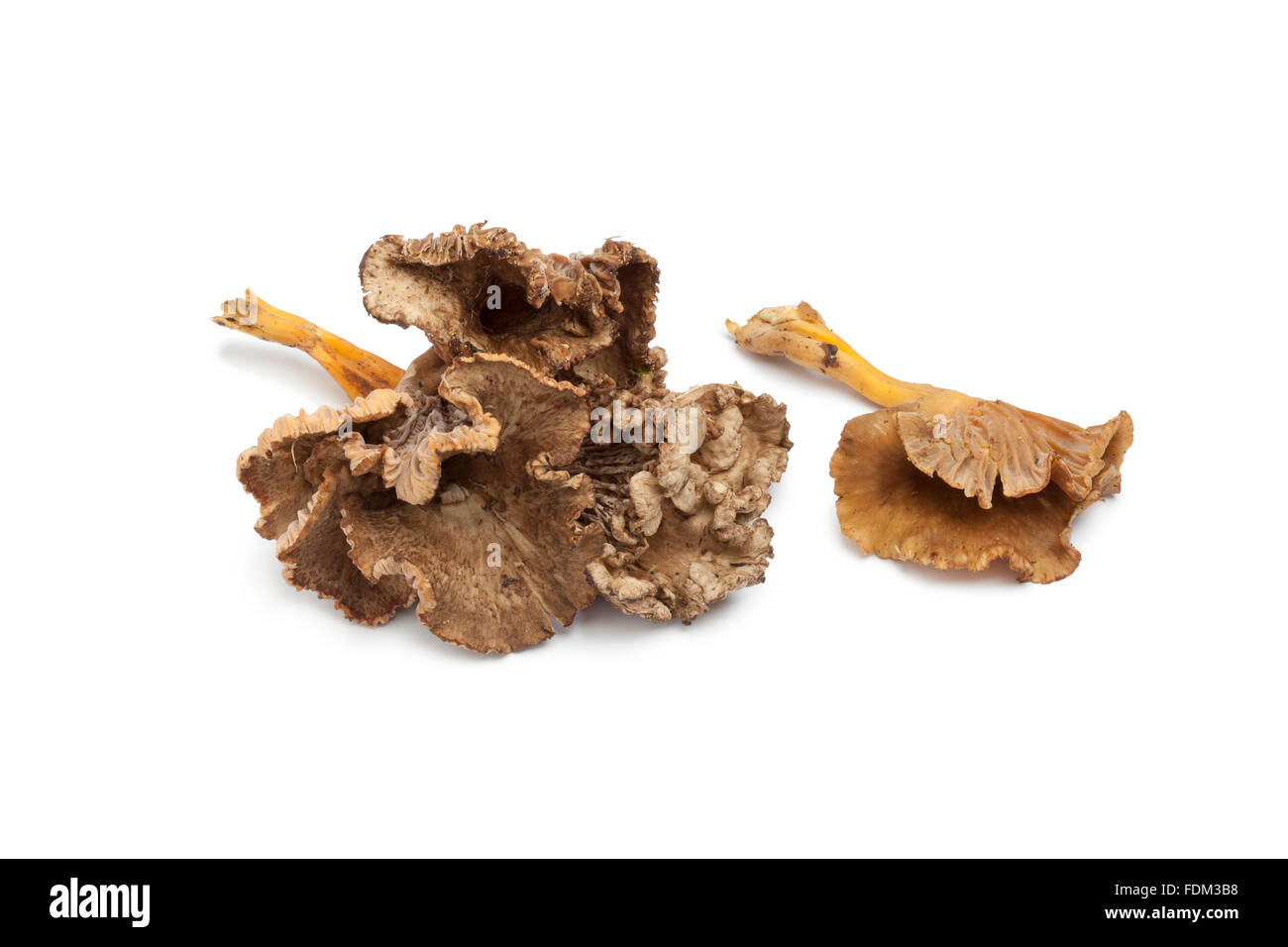 Fresh Chanterelle Grise mushrooms on white background - Stock Image