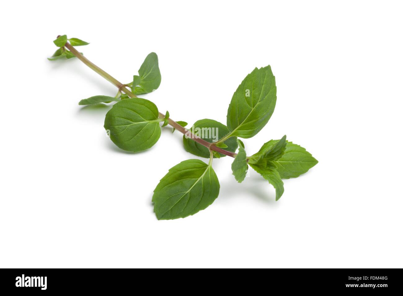 Twig of fresh ginger-mint plant on white background - Stock Image