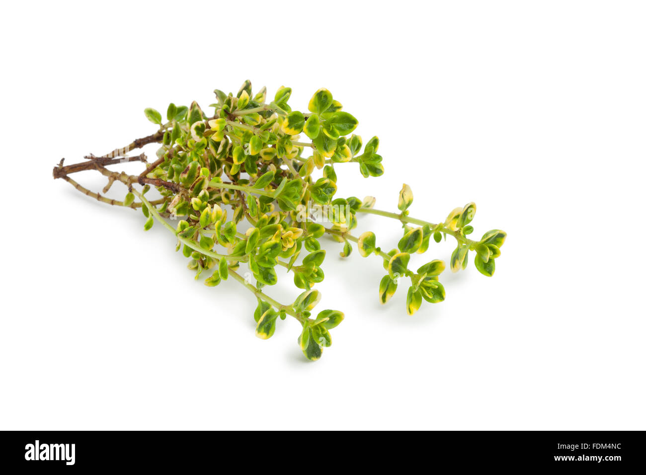 Twig of fresh lemon thyme on white background - Stock Image