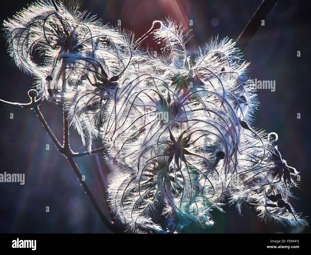 clematis vitalba old mans beard in winter Stock Photo