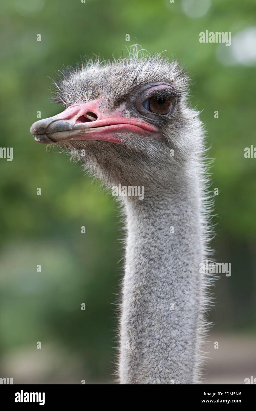 Ostrich head close up - Stock Image