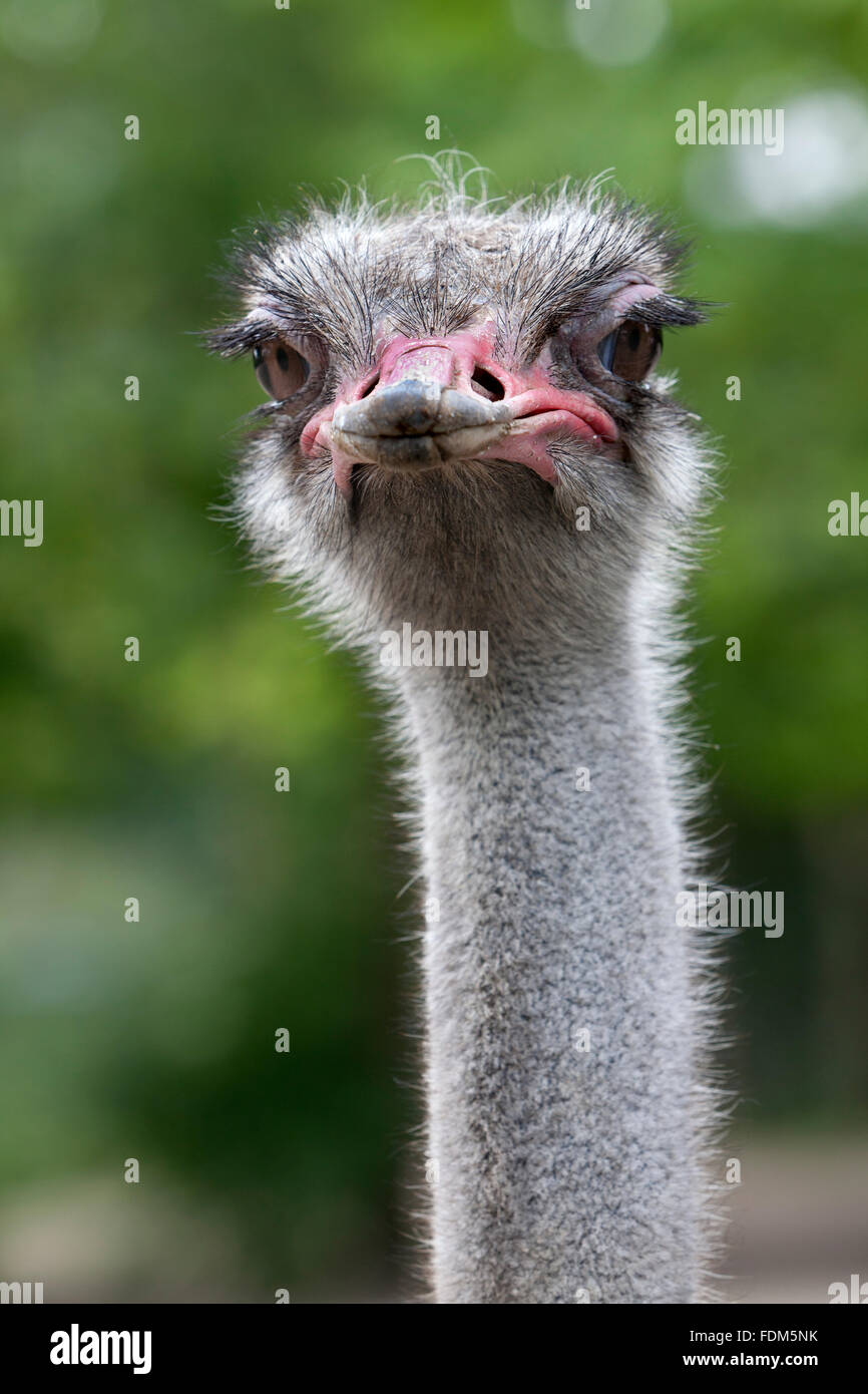 Ostrich looking into the camera close up - Stock Image