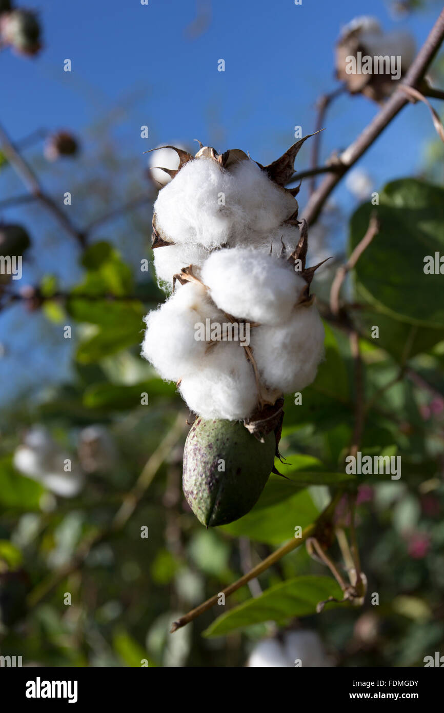 open cotton boll and closed one with leaves on the branch in Cuba - Stock Image