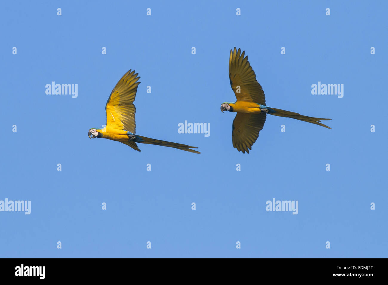Caninde macaws flying in the Grand National Park backlands Footpaths Stock Photo