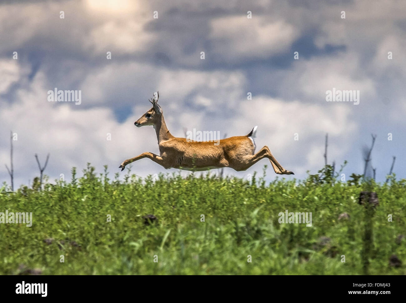 Pampas deer in the area of ??the Serra da Canastra National Park - Stock Image