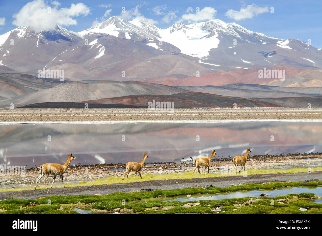 Cordinheira landscape with llamas and Andean Volcano Pissis Incidental - Stock Image