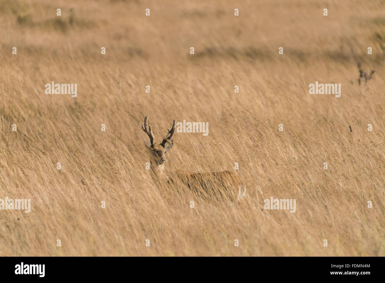 Pampas deer in the Serra da Canastra National Park - Stock Image