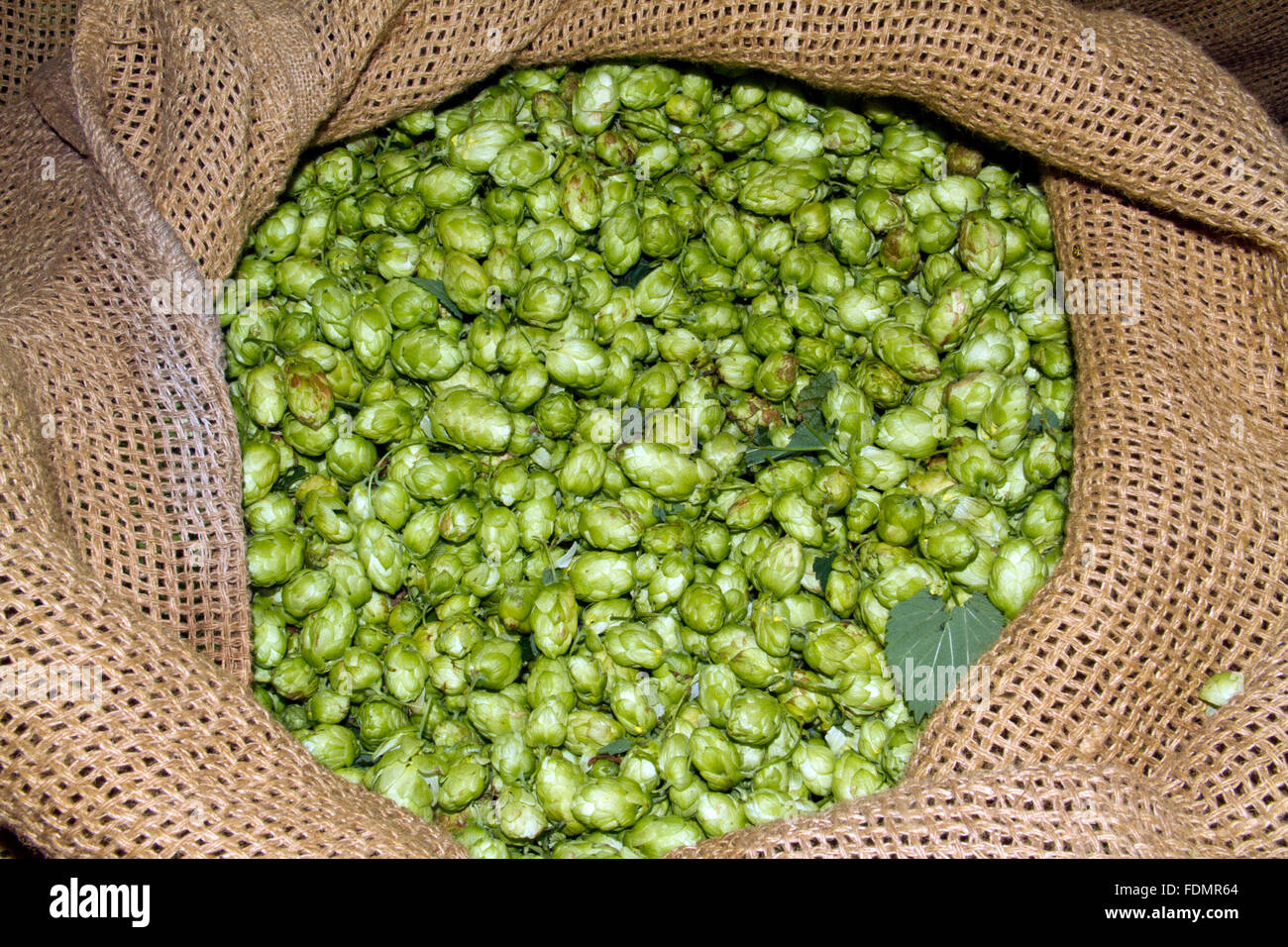 A pocket of hops with green hops showing through the open top. - Stock Image