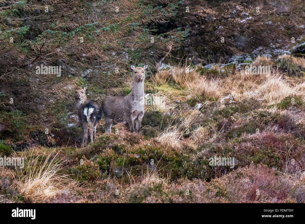 Mother and young deer alert on a heathery hillside with some snow in the wind in Wicklow mountains national park - Stock Image