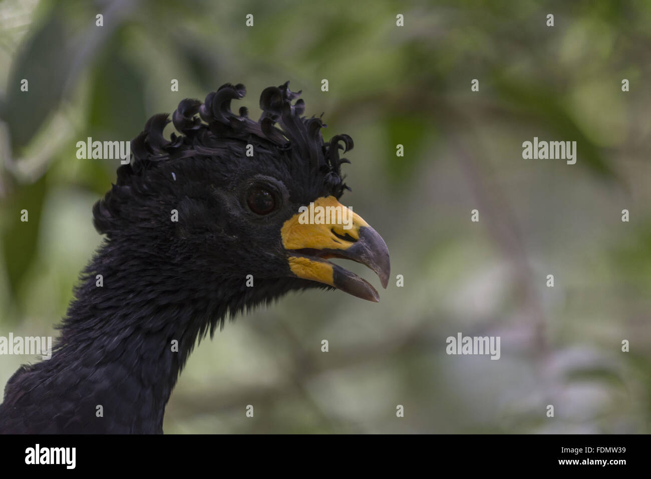 Close to mutum-de-plume male in Bird Park - Stock Image