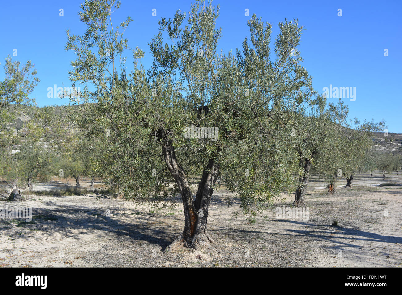 Olive trees, near Balones, Alicante Province, Valenica, Spain - Stock Image