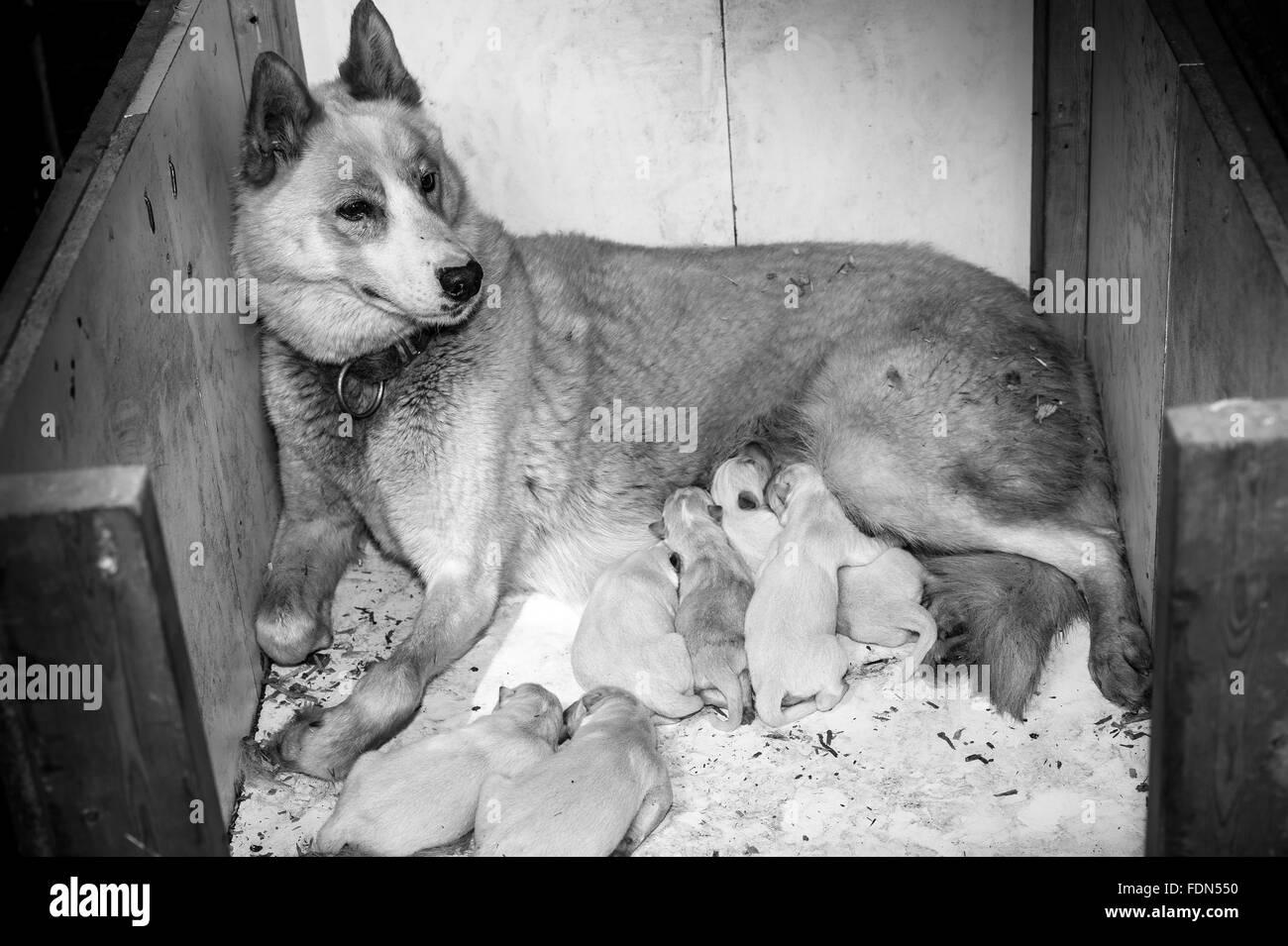 female husky dog giving birth and nourishing its family - Stock Image