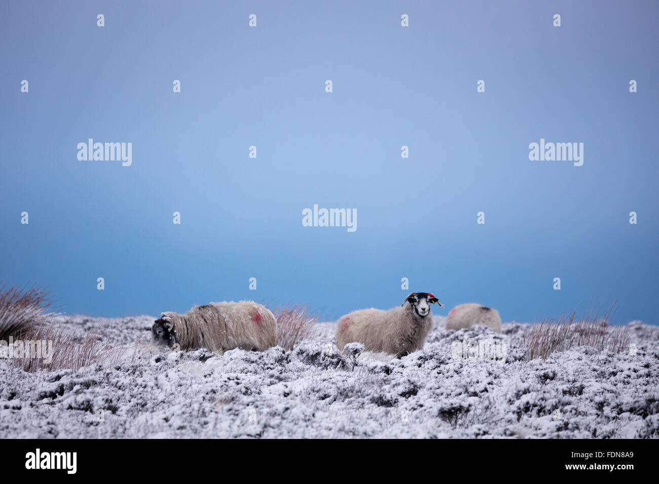 Three sheep on snow covered heather moorland near Stanage Edge in the Peak District National Park. Derbyshire, England, Stock Photo
