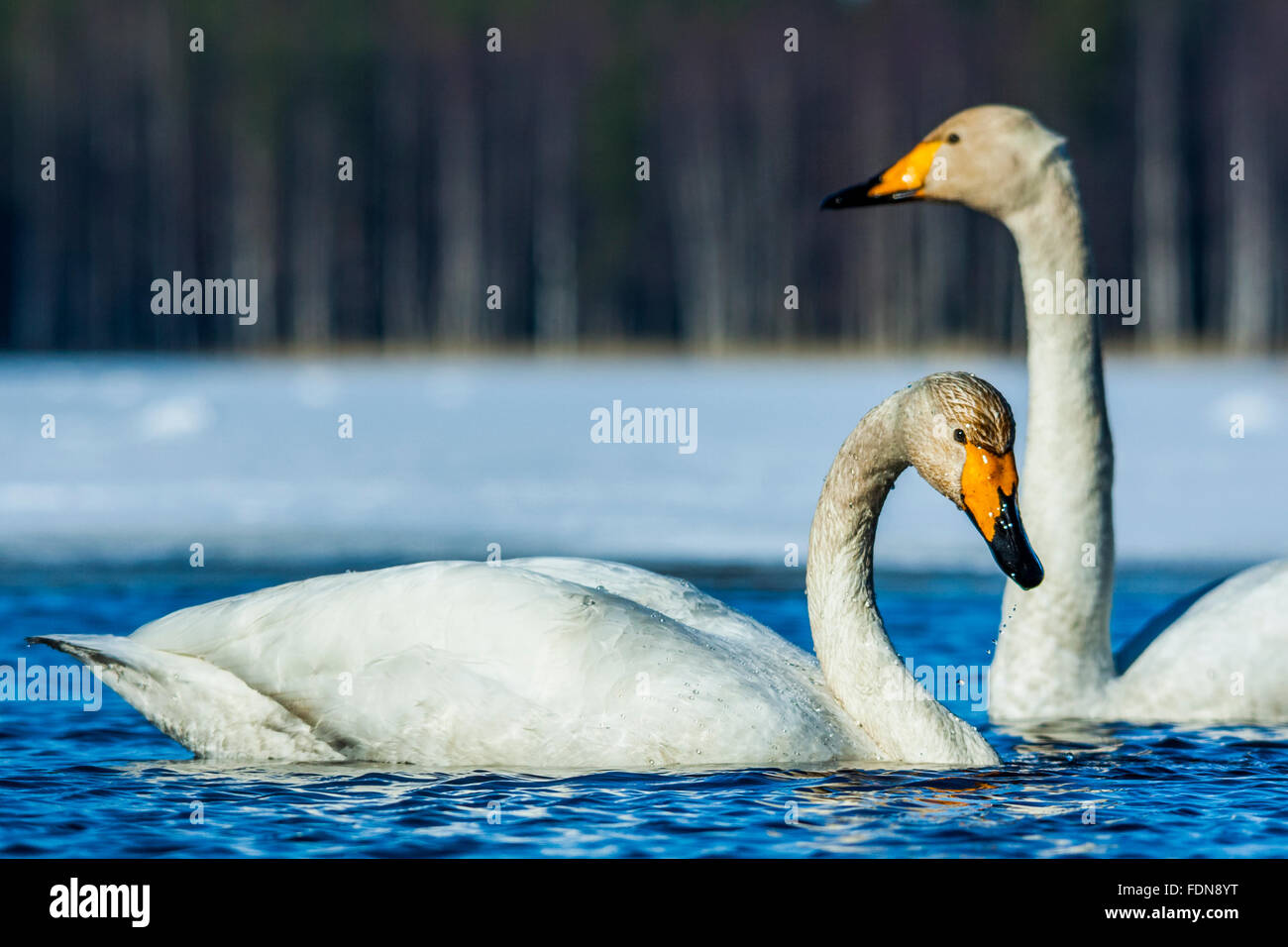 Two whooper swans - Stock Image