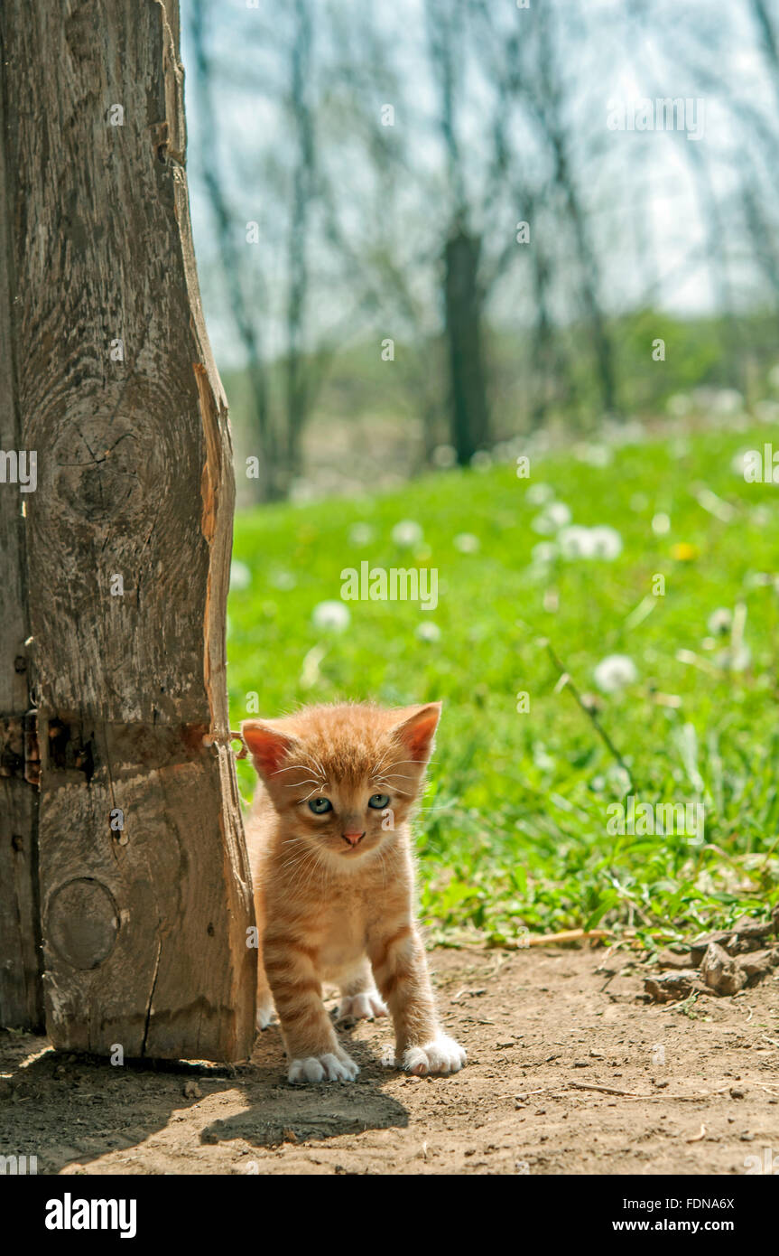Kitten peeking by old wooden barn door - Stock Image