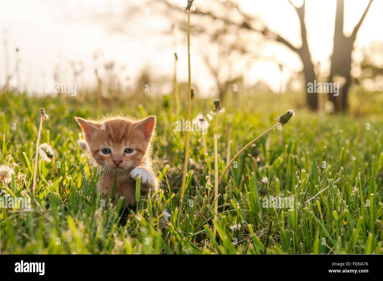 Kitten in tall grass - Stock Image