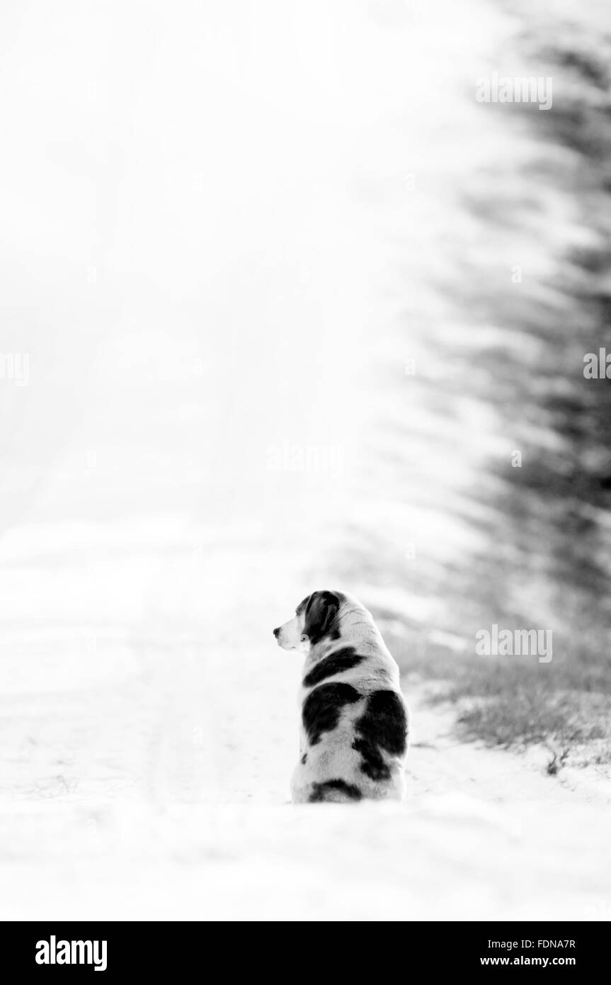 Black and white spotted dog in winter - Stock Image