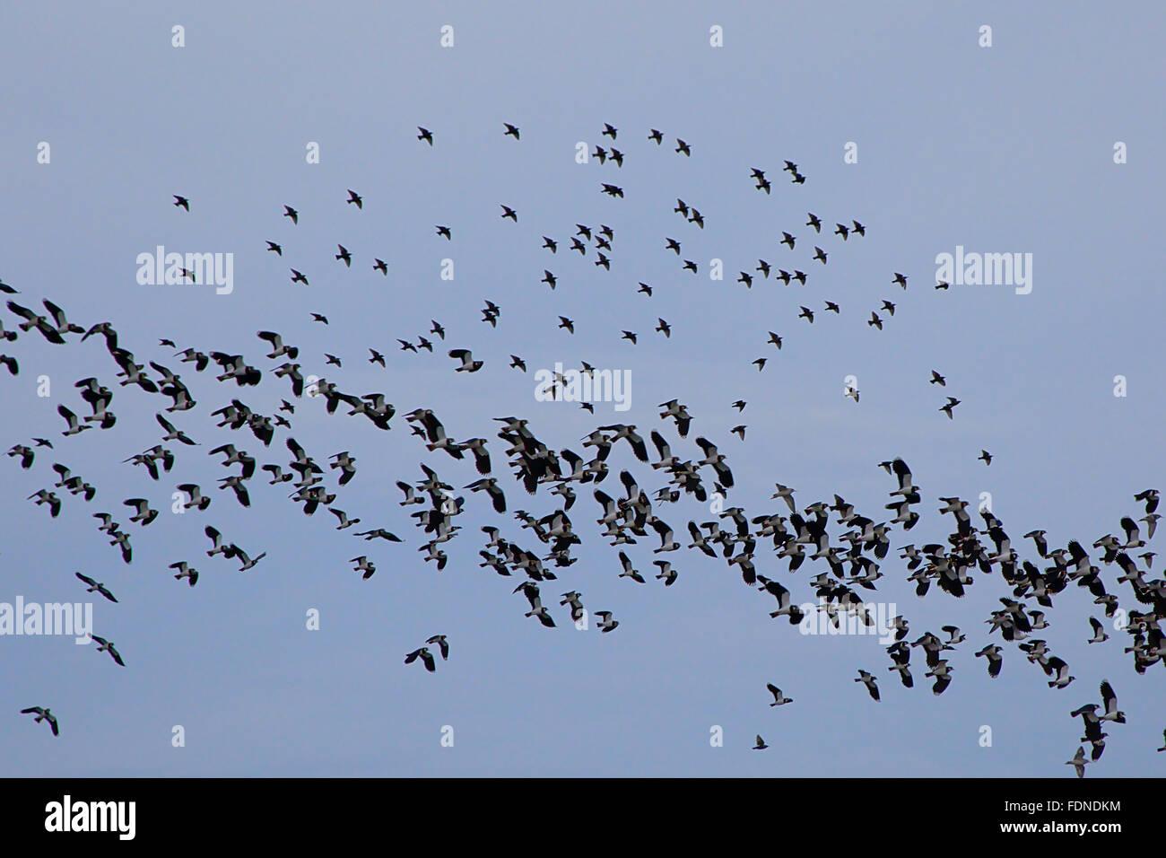 two flocks of birds - Stock Image